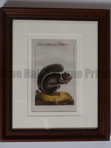 Buffon Squirrel Engraving. Das Schwarze Eichorn.