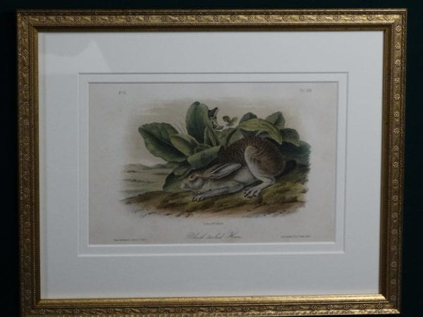 Audubon Black-Tailed Hare, c.1849-1855. $375.