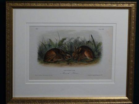 Audubon Marsh Hare