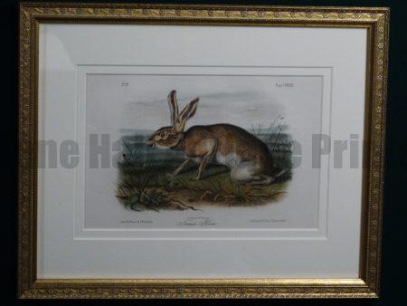 Audubon Texian Hare Framed, c.1849-1855. $375.