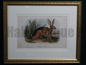 Audubon Californian Hare, c.1849-1855. $375.