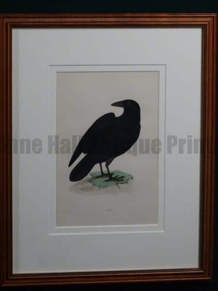 Raven 1890 English hand colored engraving. Framed