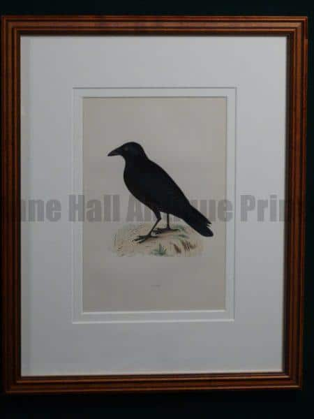 Crow 1890 English hand colored engraving, framed