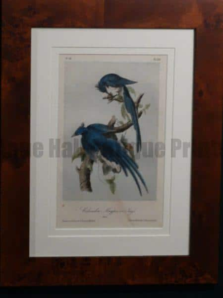 Columbia Magpie Jay