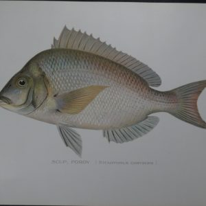Denton Fish Print of Scup Porgy