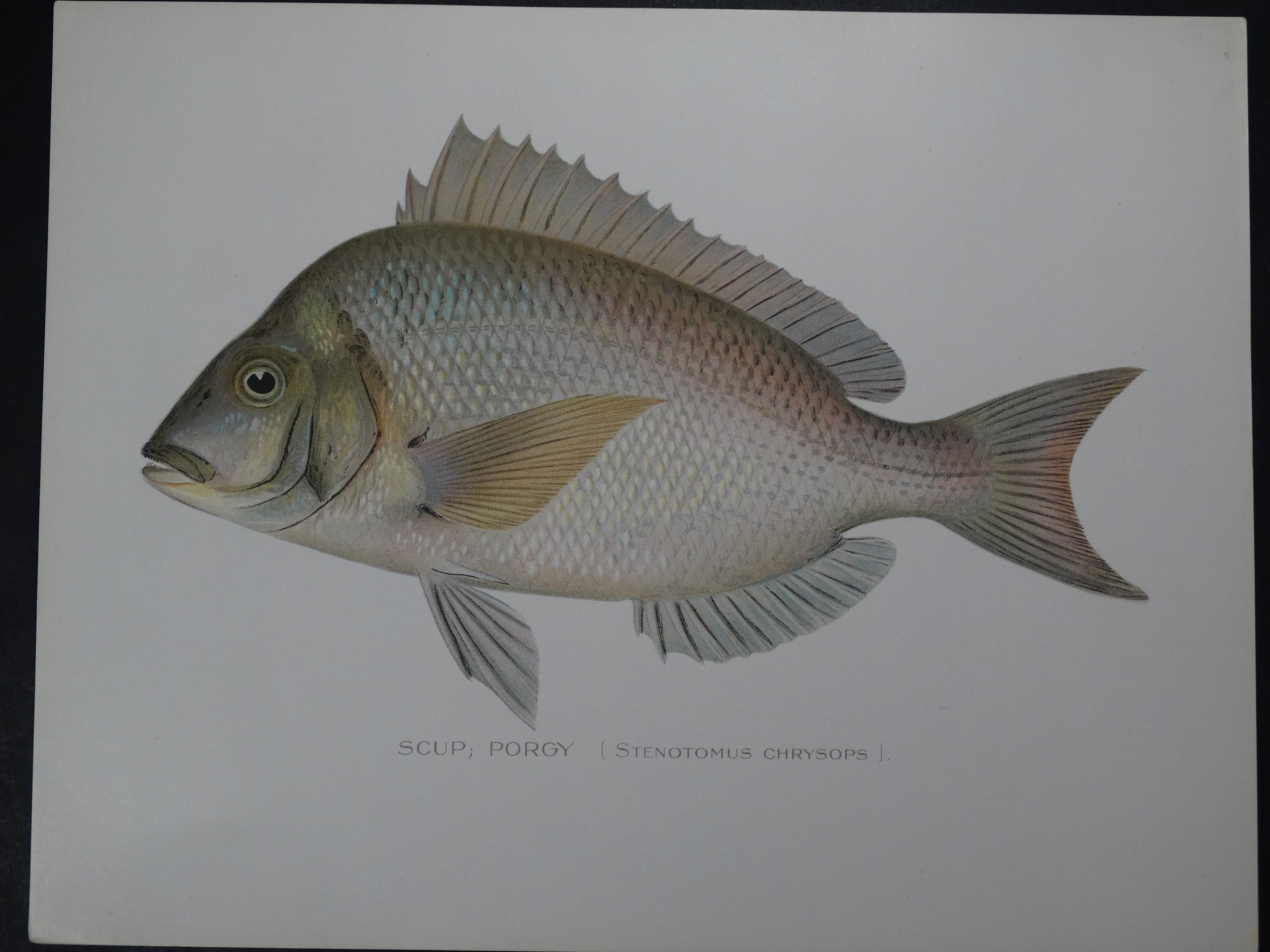 Denton Fish Print of Scup Porgy