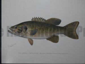 Denton Fish Print of the Small Mouthed Black Bass