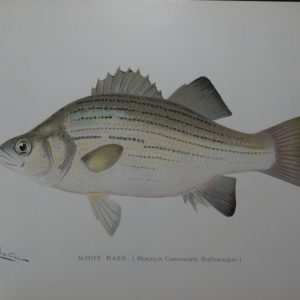 Denton Fish Print White Bass