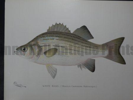 Denton Fish Print White Bass