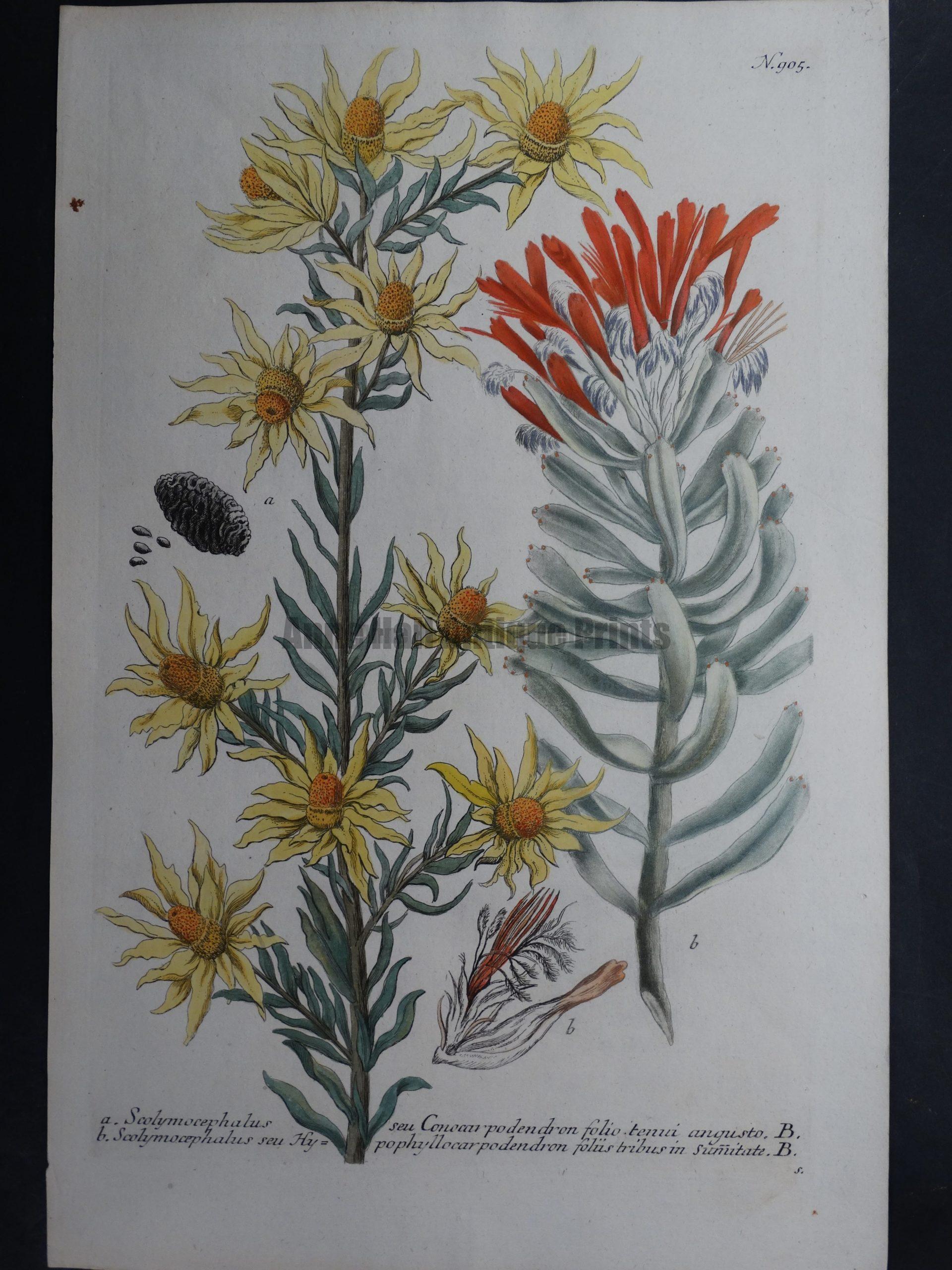 Weinmann Scolymocephalus 905 Johann Wilhelm Weinmann Phytanthoza iconographia. 1737-1745.  9.5x15.25 in.