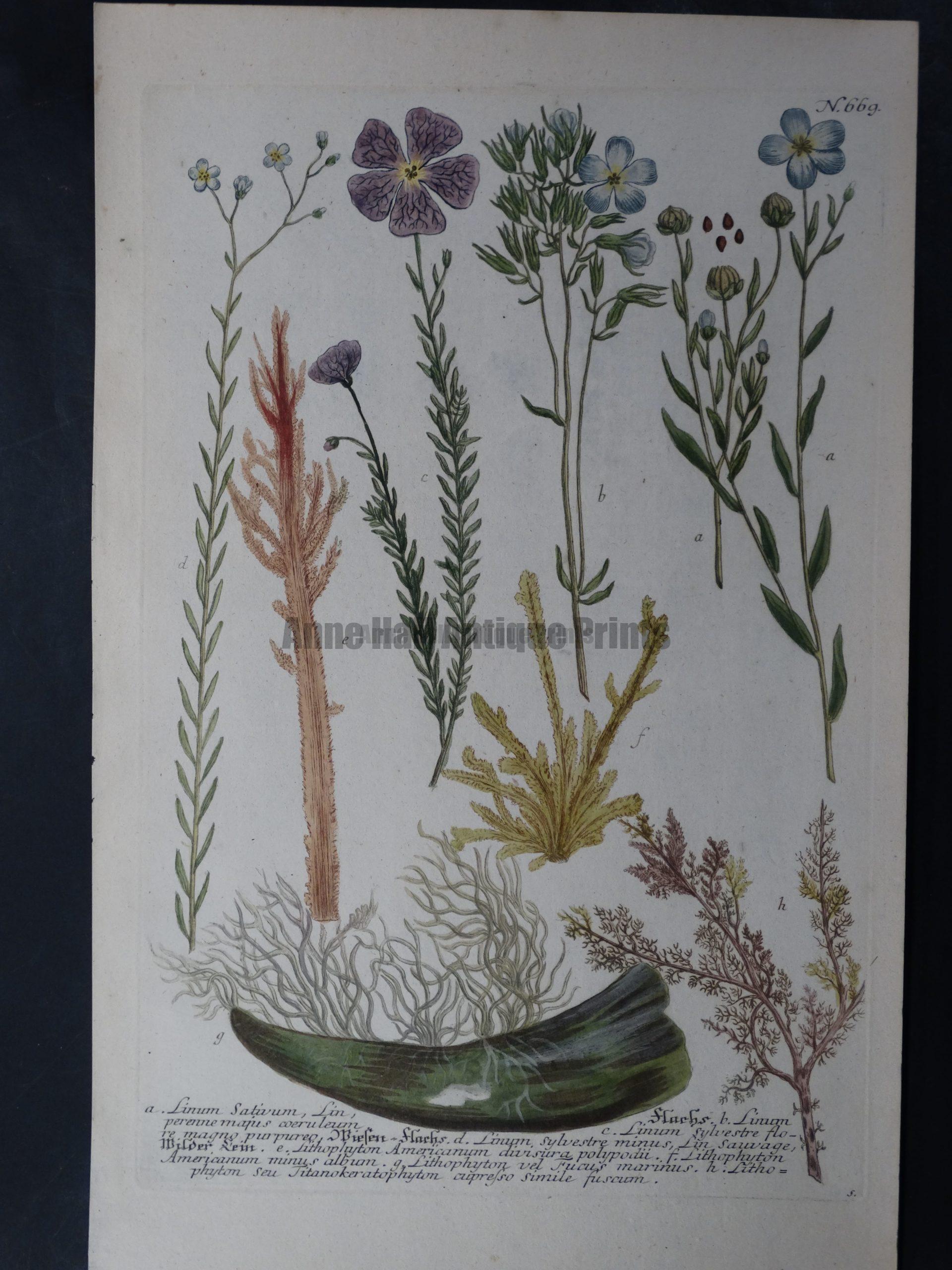 Weinmann Linum 669 Johann Wilhelm Weinmann Phytanthoza iconographia. 1737-1745.  9.5x15.25 in.