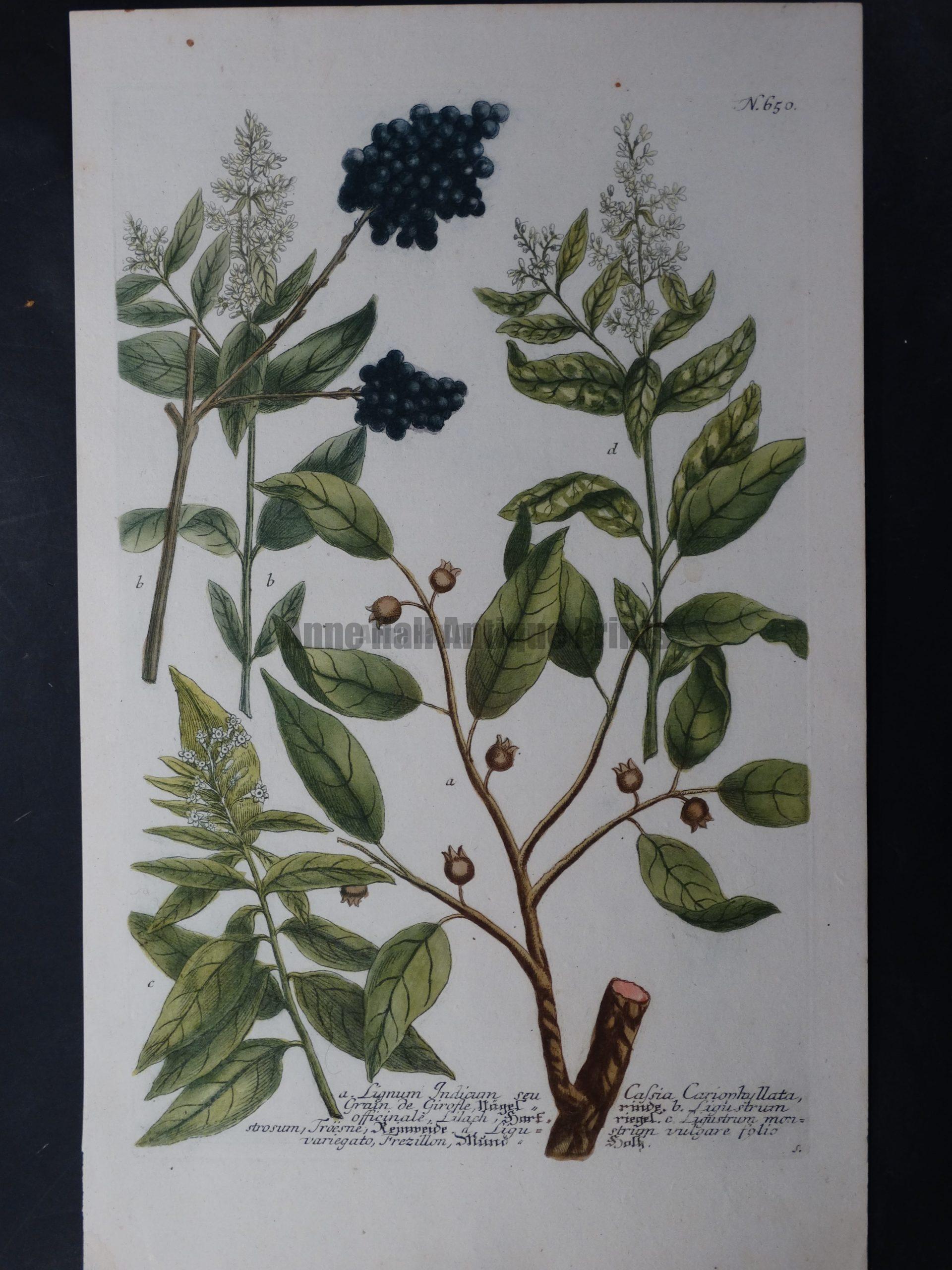 Weinmann Lignum Johann Wilhelm Weinmann Phytanthoza iconographia. 1737-1745.  9.5x15.25 in.