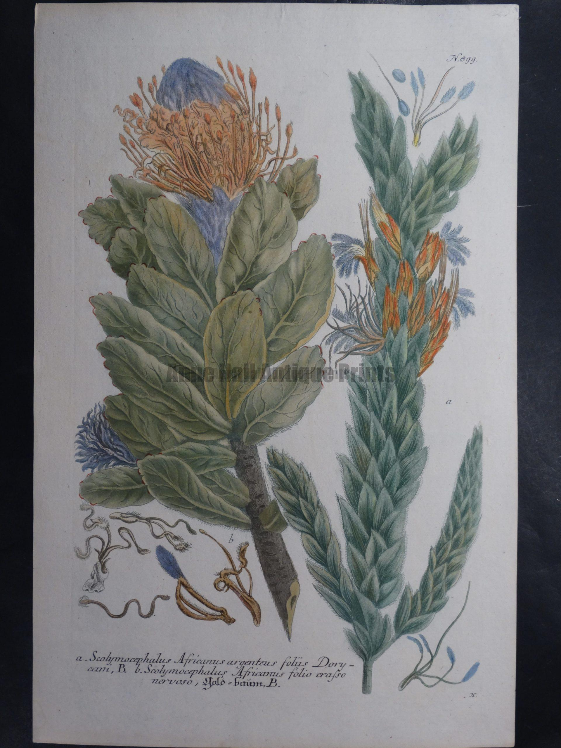 Weinmann Scolymocephalus Johann Wilhelm Weinmann Phytanthoza iconographia. 1737-1745.  9.5x15.25 in.