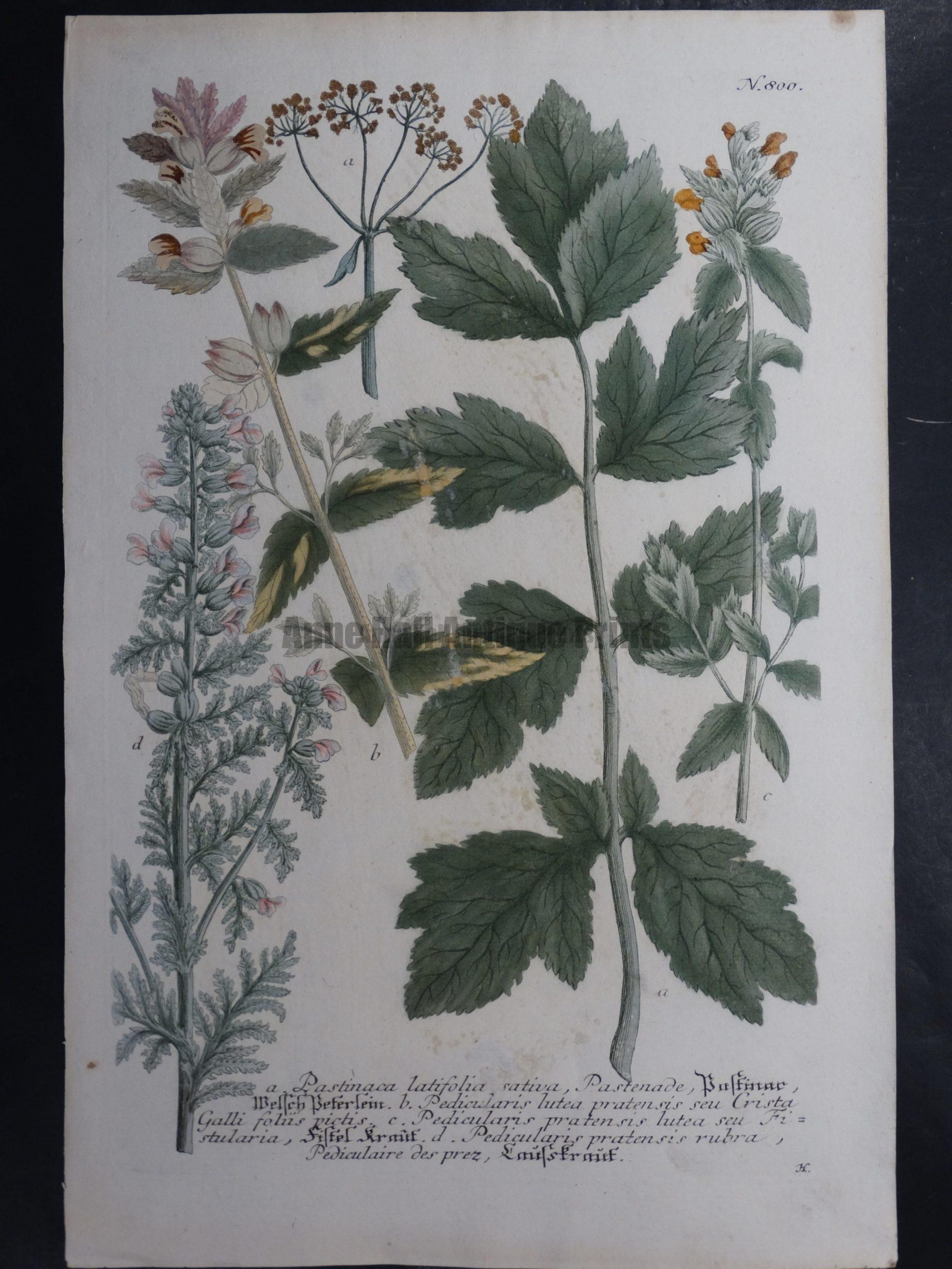 Weinmann Pastinaca Johann Wilhelm Weinmann Phytanthoza iconographia. 1737-1745.  9.5x15.25 in.
