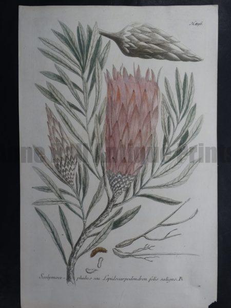 Weinmann Scolymocephalus 896 $75