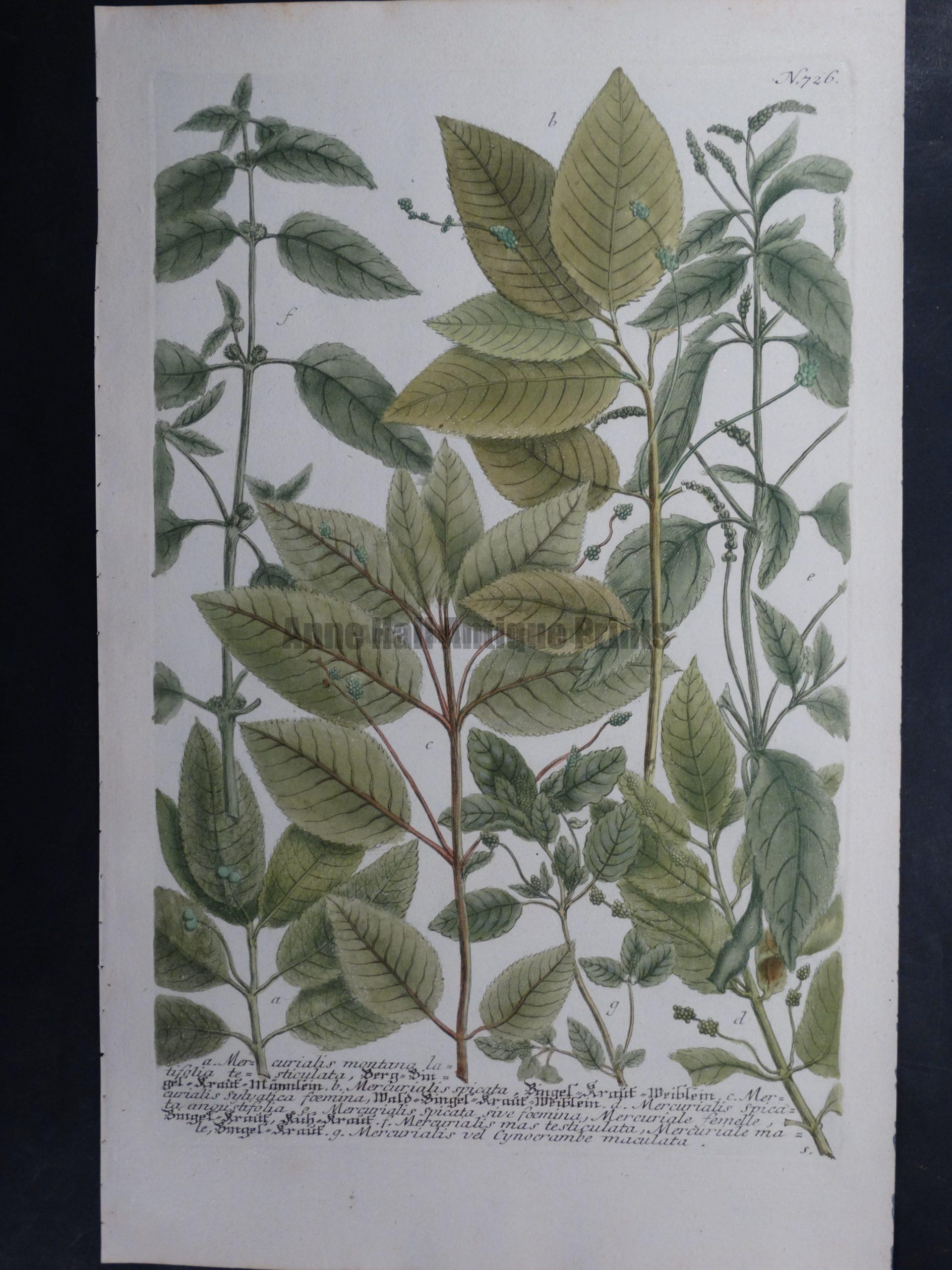 Weinmann Mercurialis 726 Johann Wilhelm Weinmann Phytanthoza iconographia. 1737-1745.