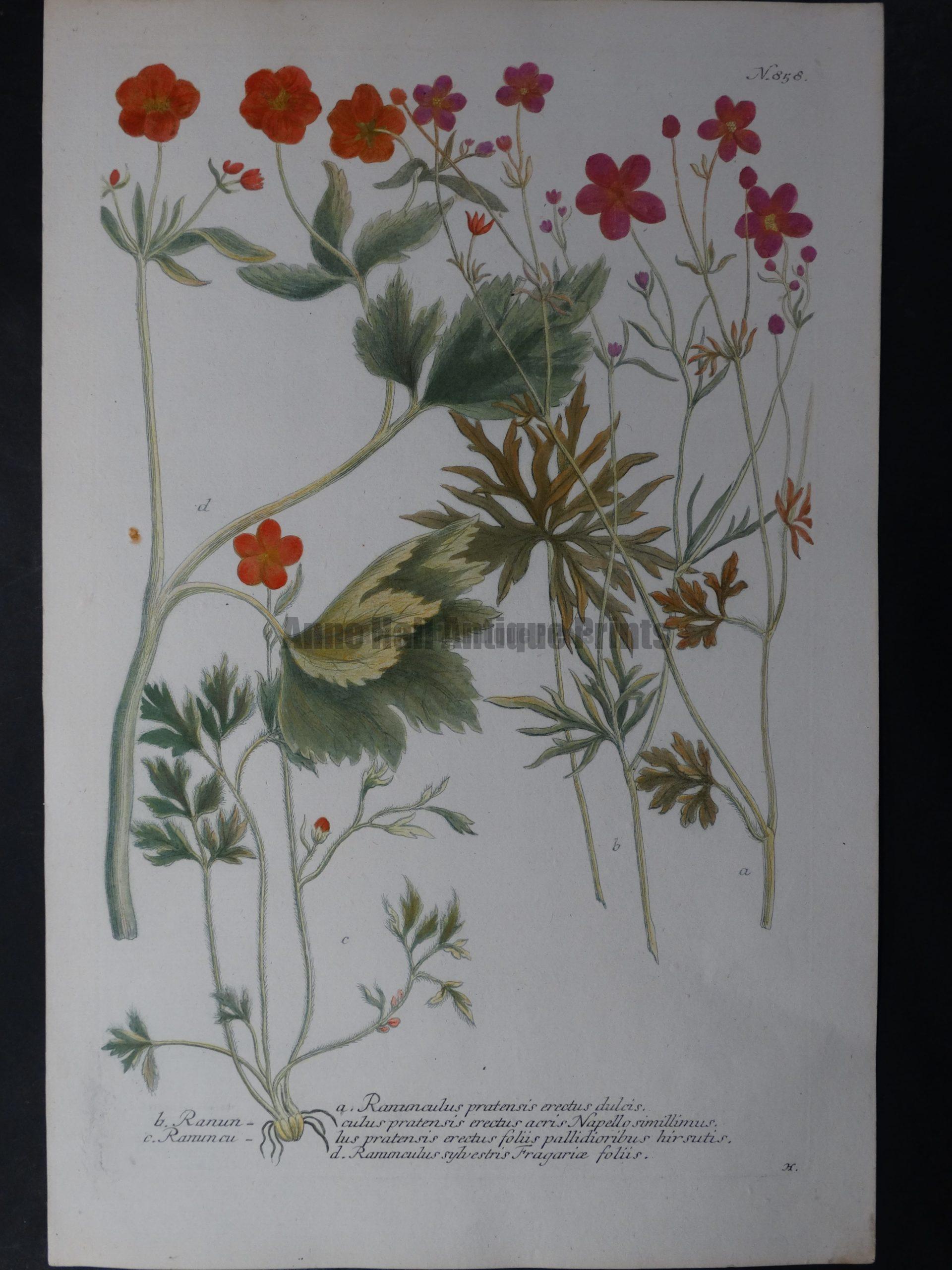 Weinmann Ranun 858 Johann Wilhelm Weinmann Phytanthoza iconographia. 1737-1745.  9.5x15.25 in.