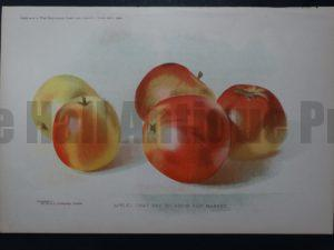 still life apples lithograph
