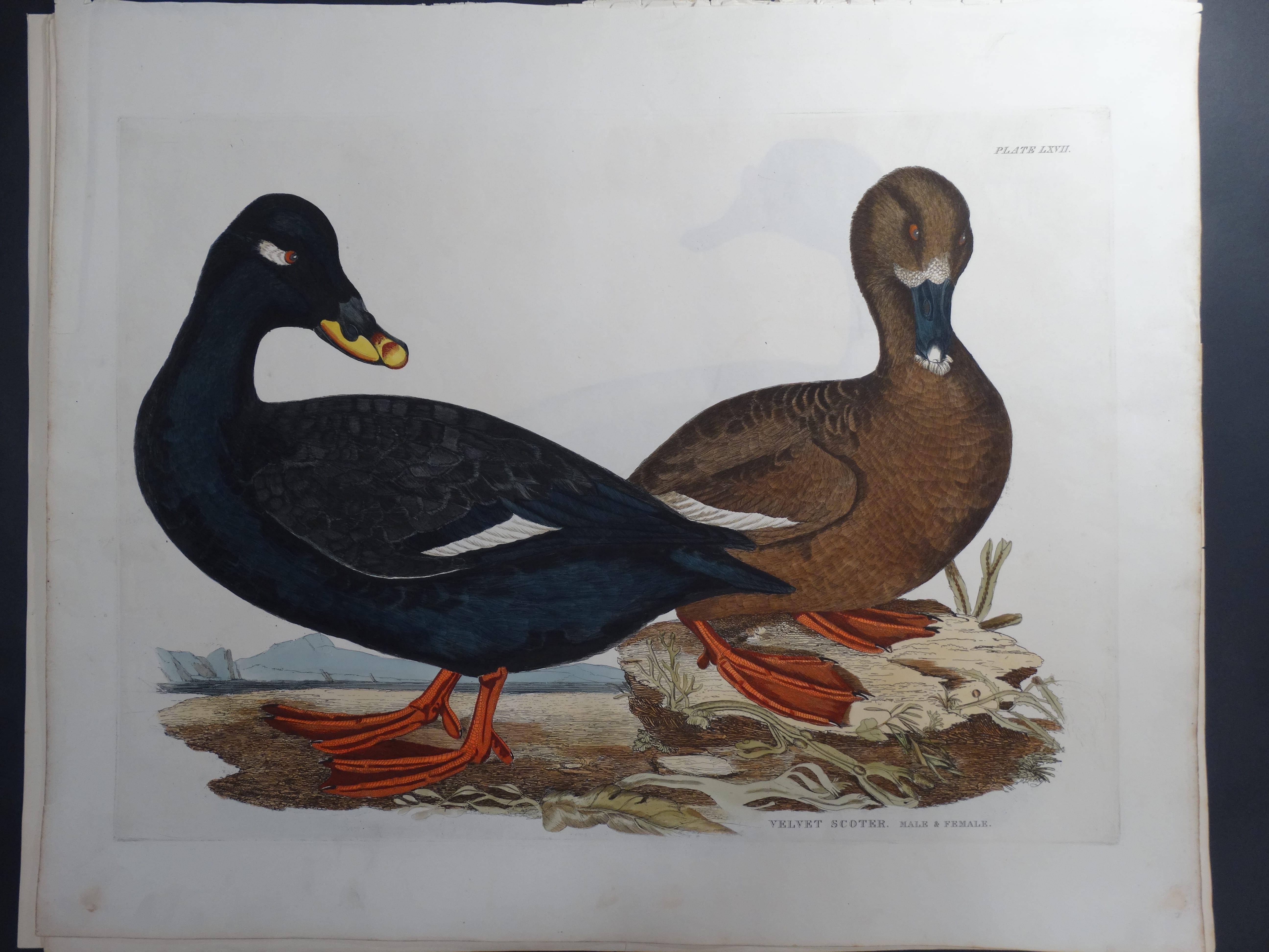 Velvet Scoter Duck $1200.