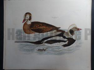 Longtail Duck $1500.