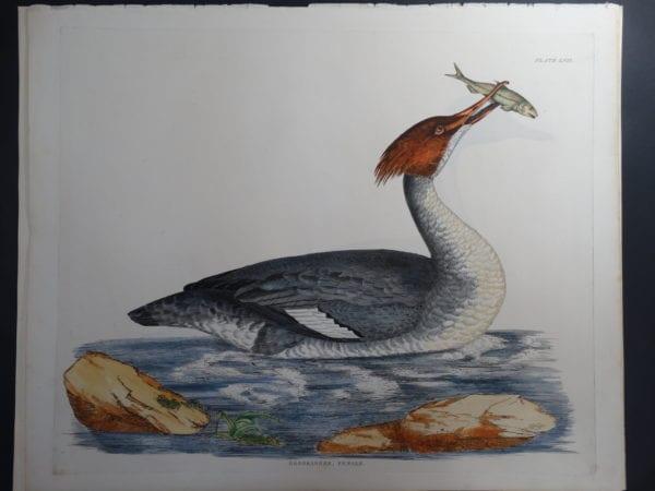 Gooseander, Female $2500.