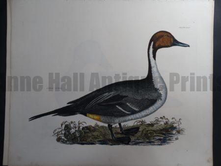 Common Pintail Duck $1500.