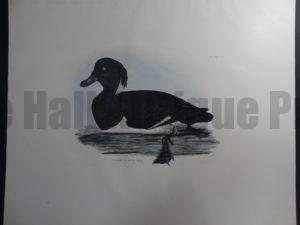 Tufted Pochard, Male