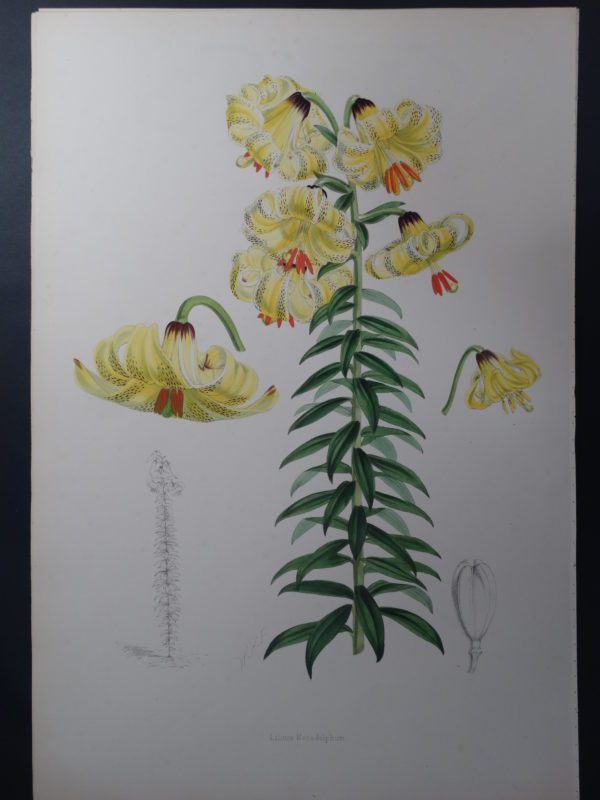 Elwes Genus Lilium Monadelphum $600