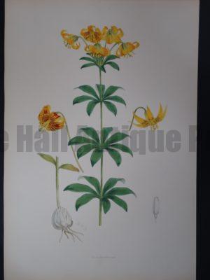 Elwes Genus Lilium Columbianum $700