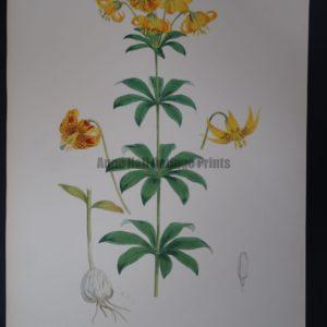 Elwes Genus Lilium Columbianum