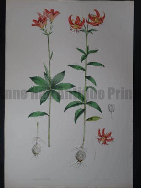 Elwes Genus Lilium Medeoloides