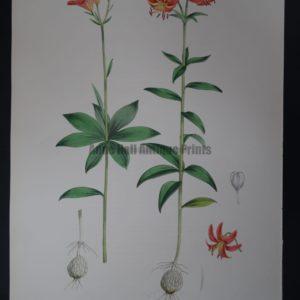 Large antique lily lithograph. Elwes Genus Lilium Medeoloides
