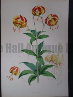 Elwes Genus Lilium Californicum $700