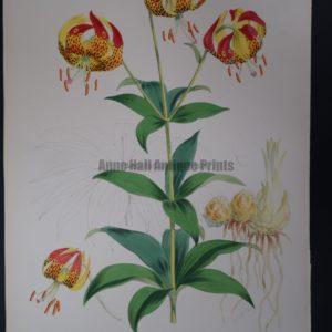 Elwes Genus Lilium Californicum