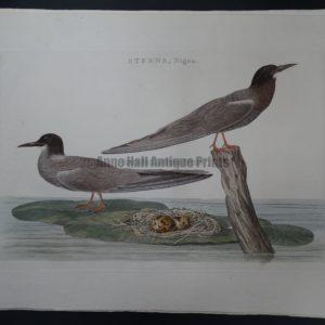 Nozeman Bird Sepp Sterna $500