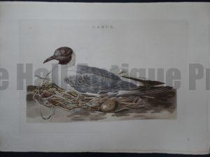 Nozeman Bird Sepp Larus $500