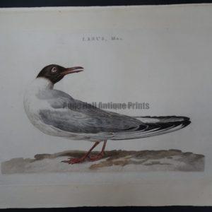 Nozeman Bird Sepp Larus Mas. $500