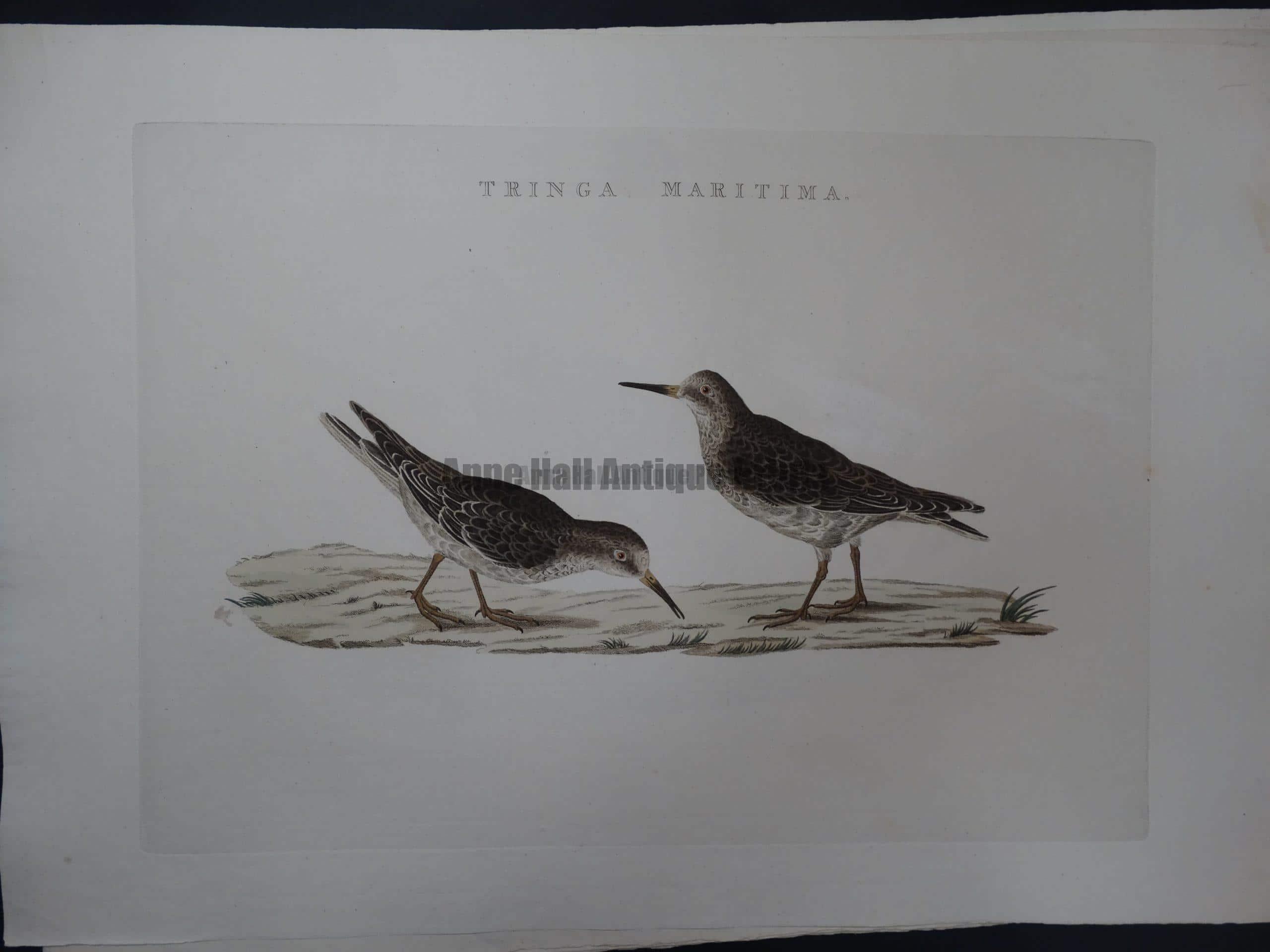 Nozeman Bird Tringa Maritima $275.
