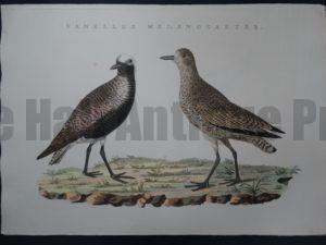 Nozeman Bird Vanellus $350