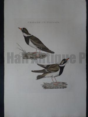 Nozeman Bird Charadrius $275