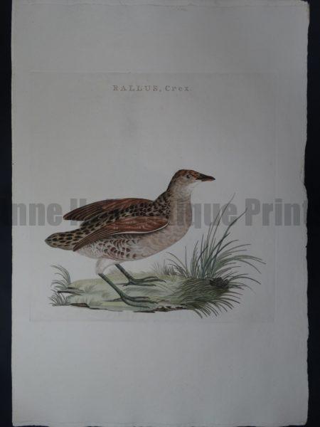 Nozeman Bird Rallus Crex $275