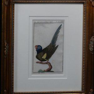 Buffon Blue Headed Parrot FR14. Sittich Mit Lasurblauen Kopfe, $200.