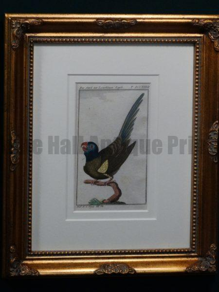 Buffon Blue Headed Parrot FR14. Sittich Mit Lasurblauen Kopfe, $200.