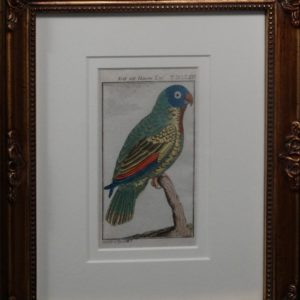 Buffon Blue Headed Parrot FR13. Krik Mit Blauemkopf, $200.