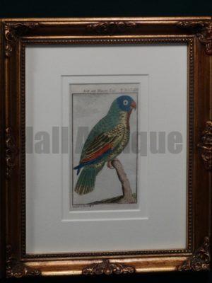 Buffon Blue Headed Parrot FR13. Krik Mit Blauemkopf, $200.