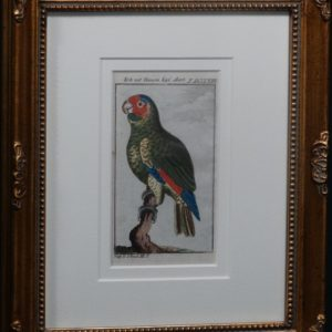 Buffon Blue Headed Parrot FR11. Krik Mit Blauemkopf, $185.