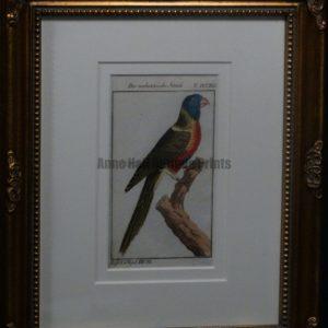 Buffon Parrot Molukkische Sittich FR9