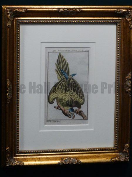 Buffon Brown Throated Parrot FR8. Der Braunkehlichte Parkit, $225.