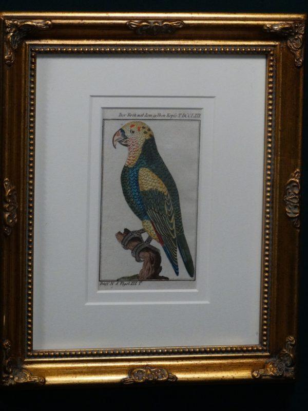 Buffon Yellow Buffon Yellow Headed Parrot FR3. Crik Mit Dem Gelben Kopfe
