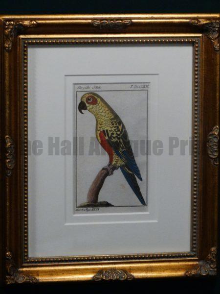 Buffon Yellow Parakeet FR1Gelbe Sittich, $225.